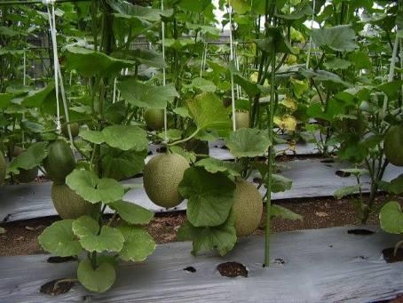 Budidaya Melon Janjikan keuntungan