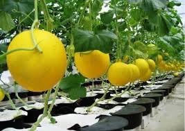 Budidaya Melon Golden seperti Budidaya Emas